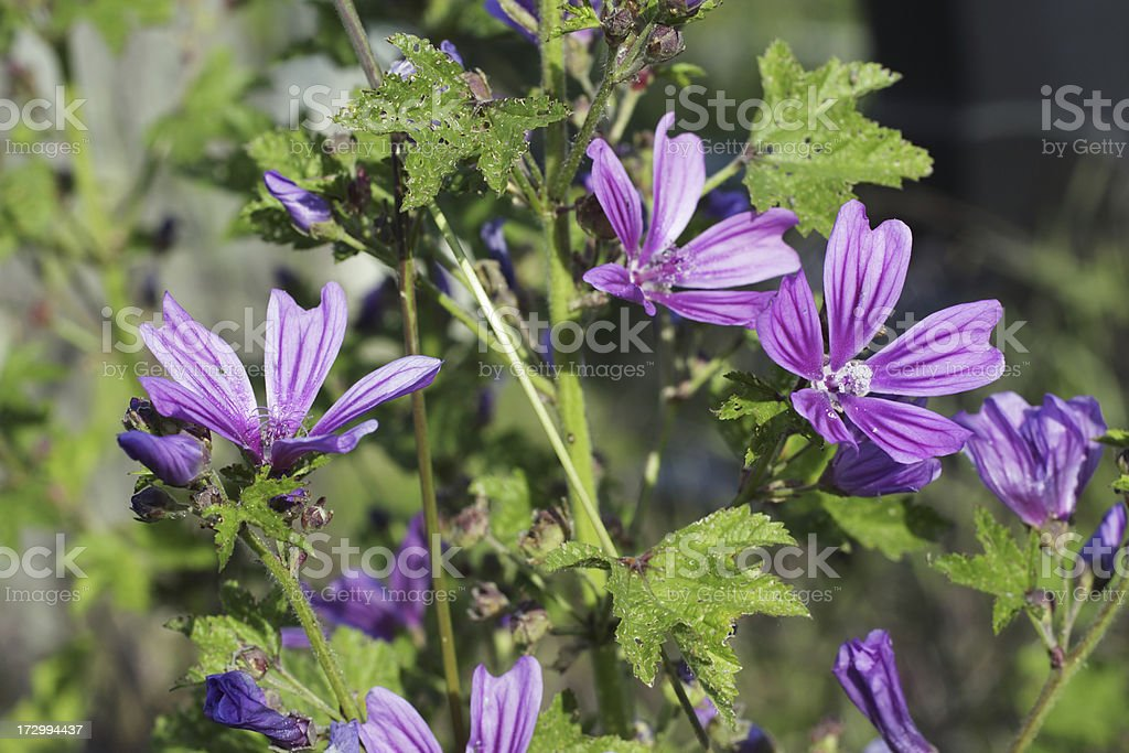 Common mallow Malva sylvestris growing wild stock photo