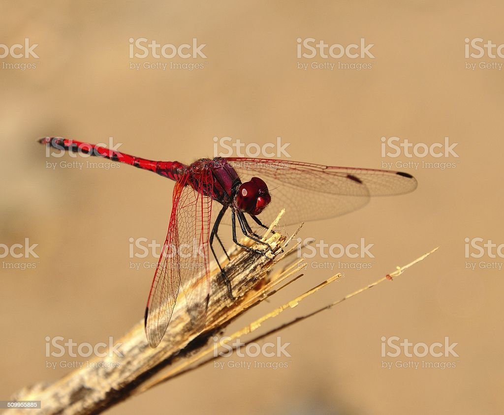Attractive red dragonfly sympetrum sanguineum stock photo