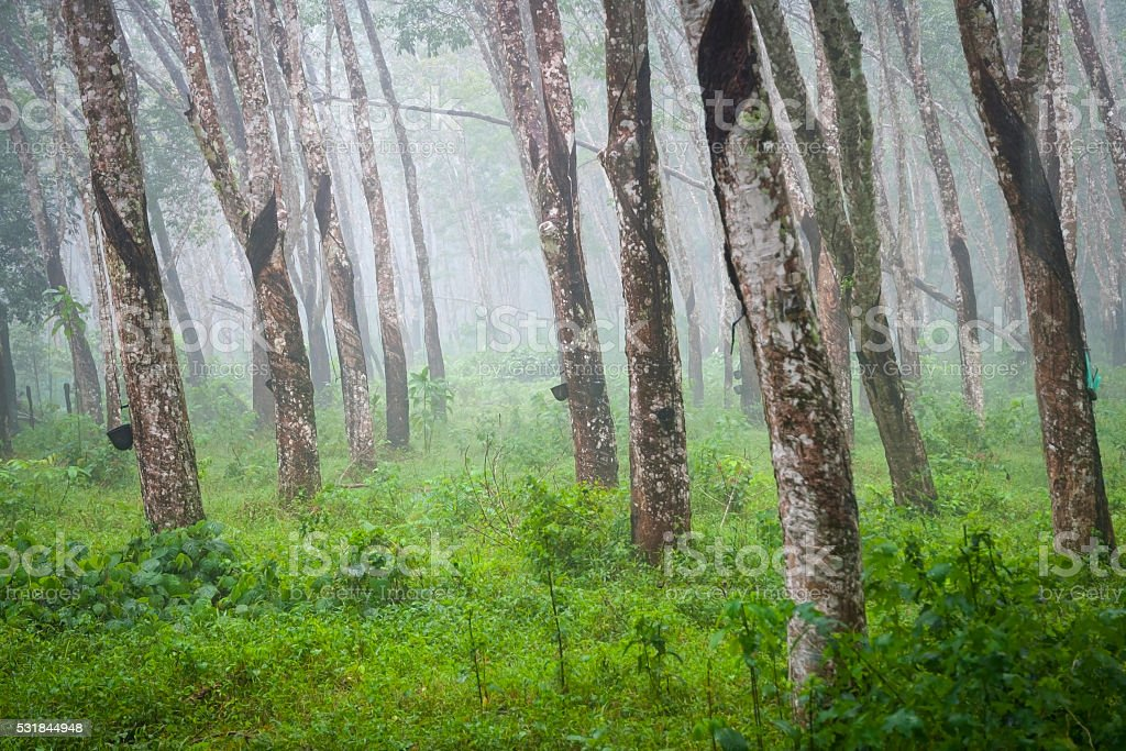 Atural rubber trees stock photo