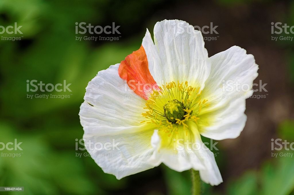 Atypical white poppy stock photo