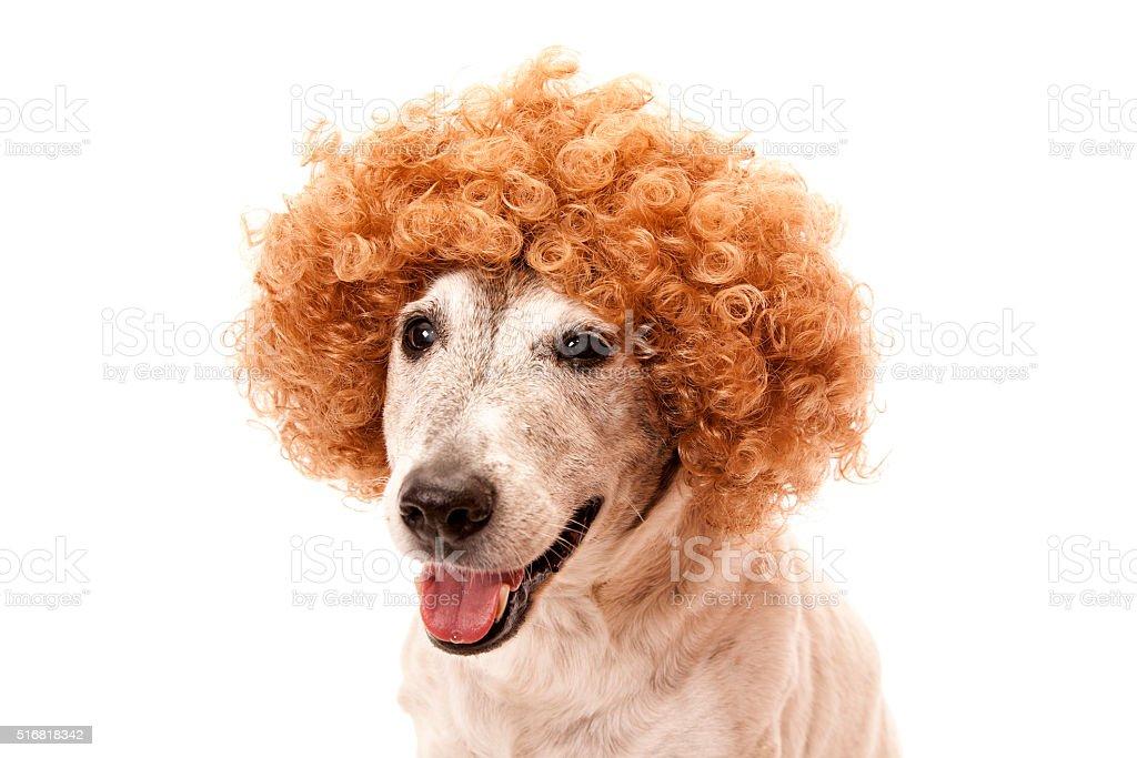 Aubin Afro Dog stock photo