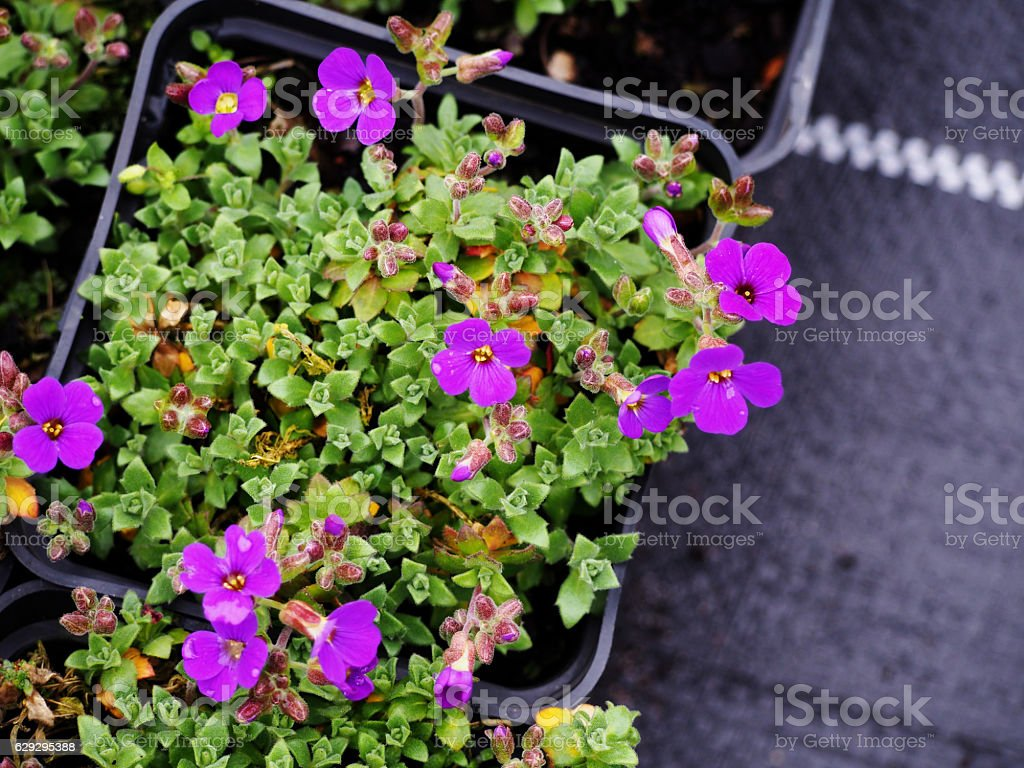 Aubrieta cultorum stock photo