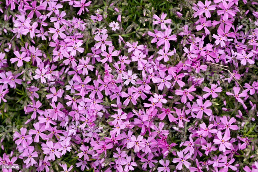 Aubrieta cultorum - pink or purple small flowers stock photo
