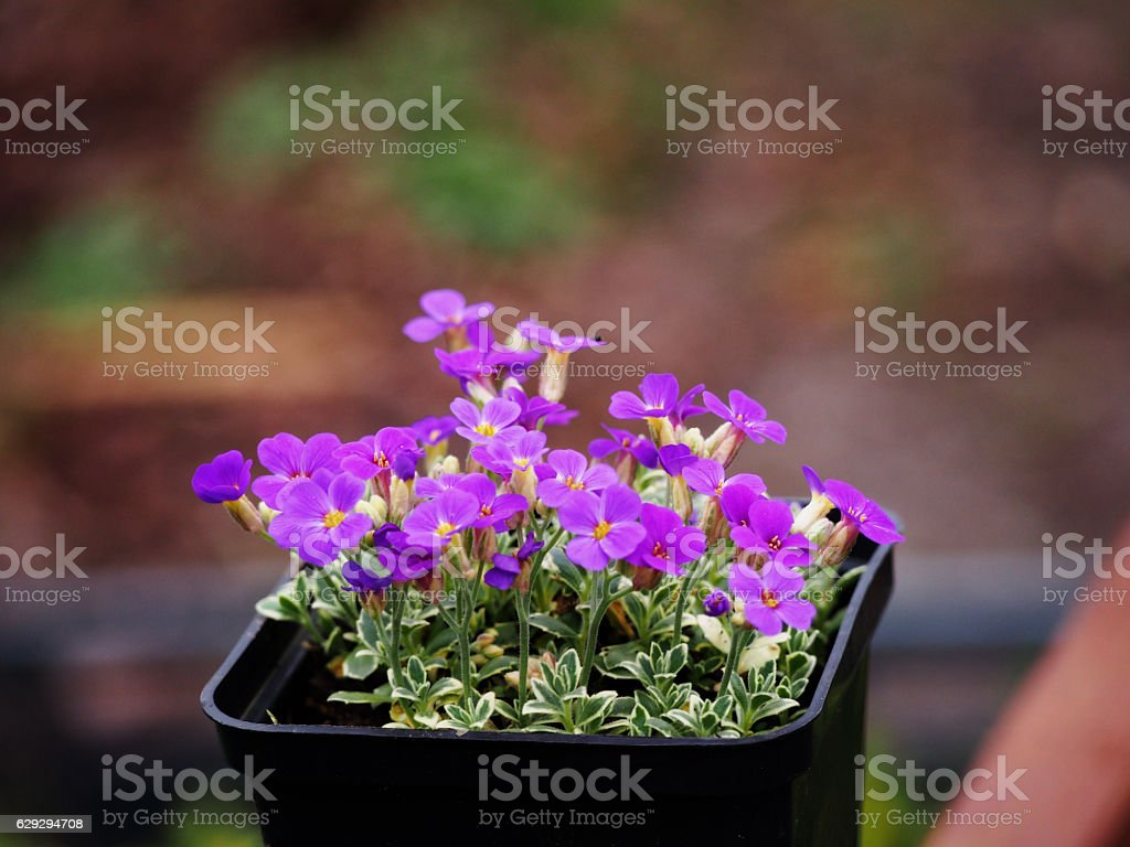 Aubrieta cultorum 'Variegata' stock photo