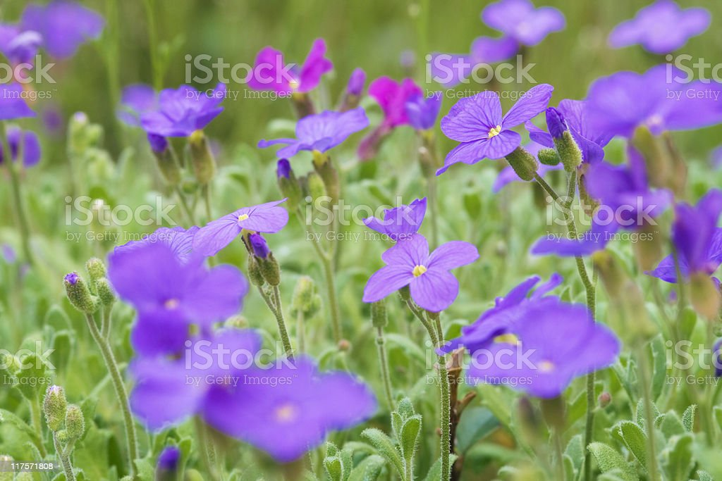 Aubrieta  flowers royalty-free stock photo