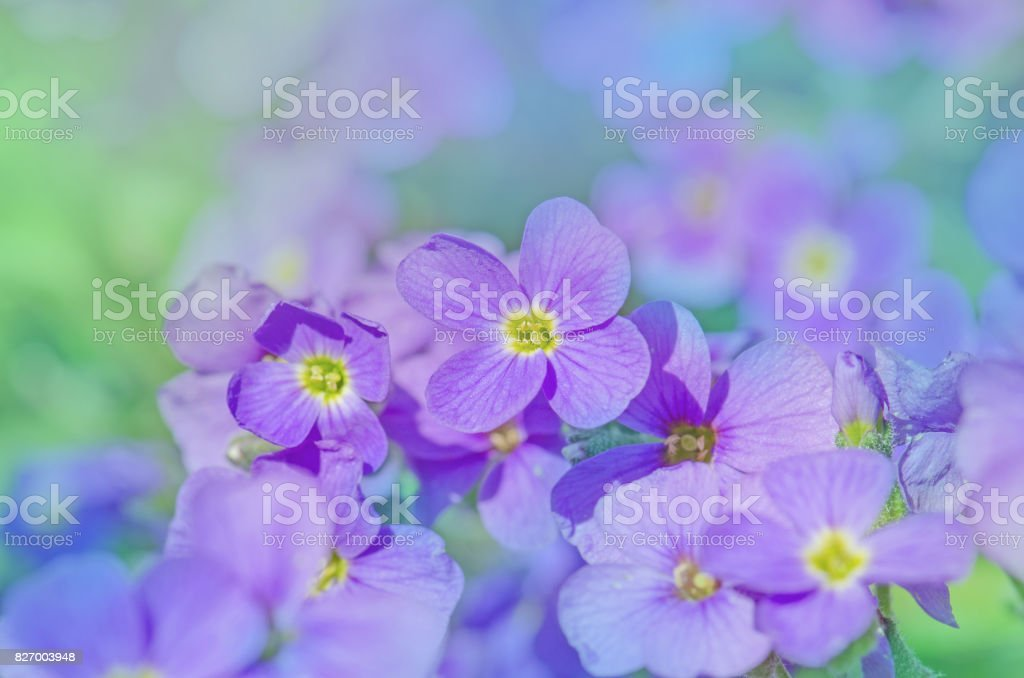 Aubrieta hybrida violet stock photo