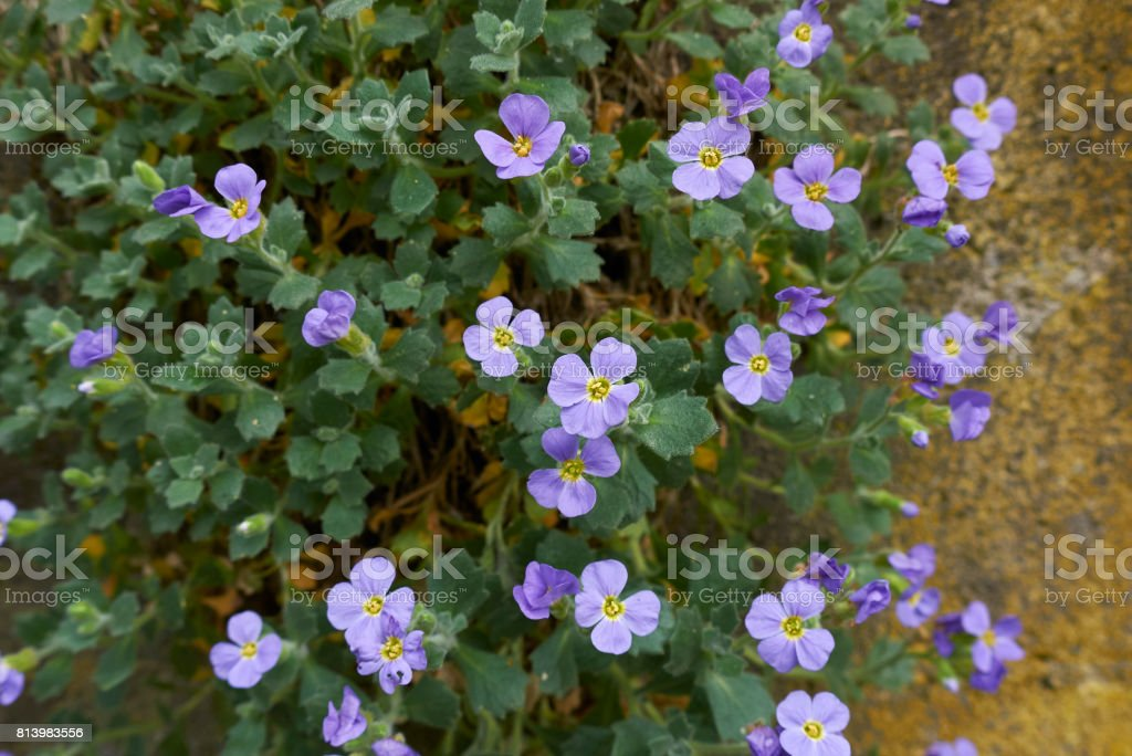 Aubrieta stock photo