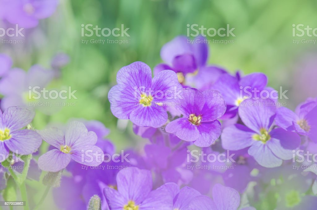 Aubrieta purple rockcress stock photo