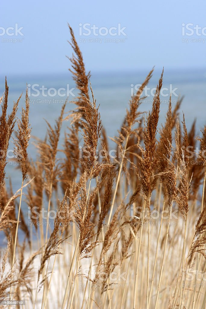 Auburn Grass at the Beach. royalty-free stock photo