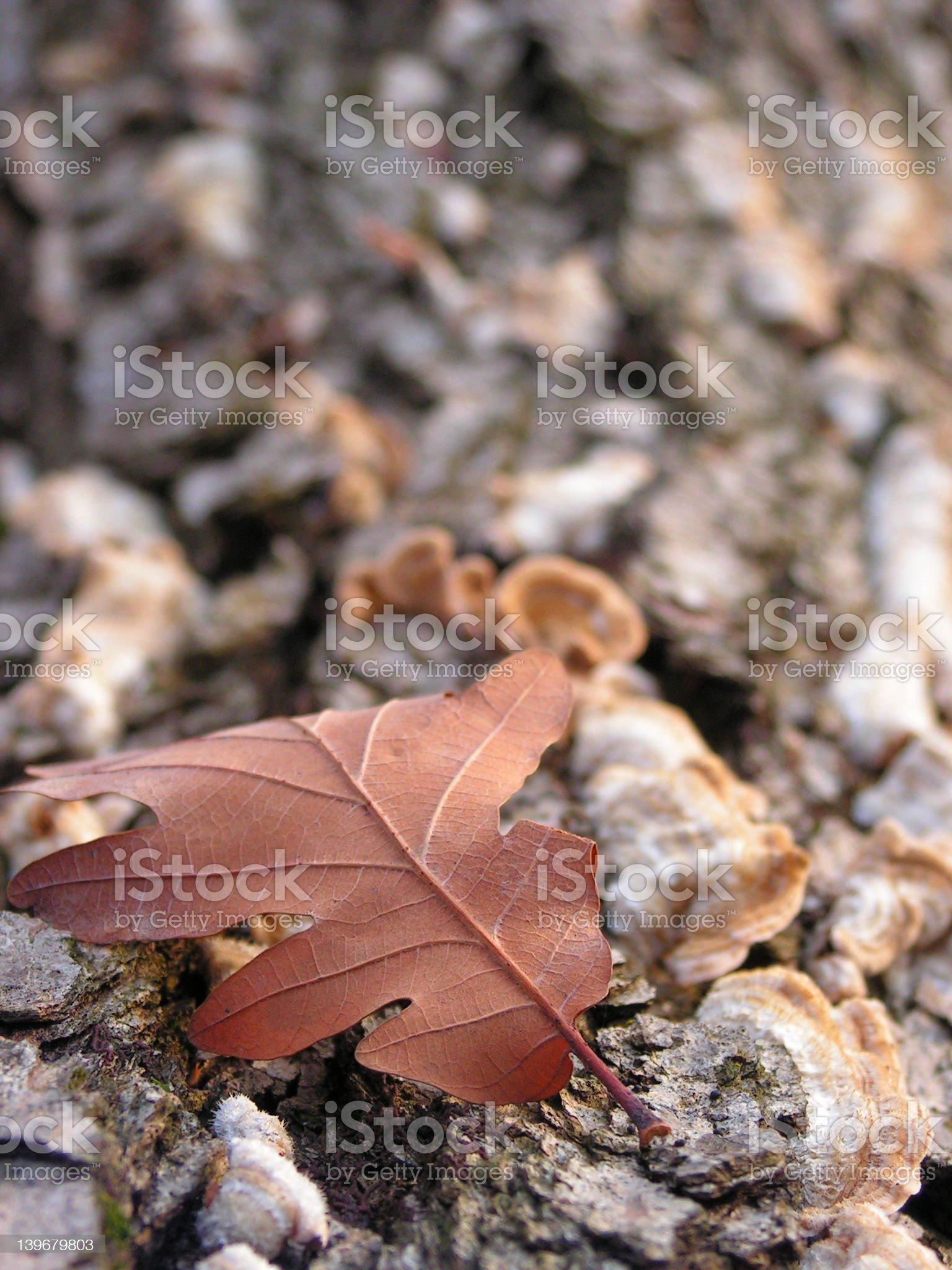 auburn leaf royalty-free stock photo