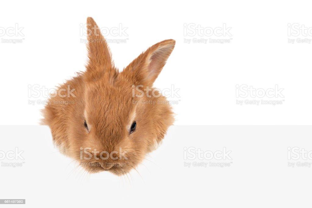 Auburn rabbit peeking out of board stock photo