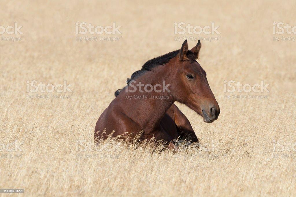 Auburn wild horse at rest stock photo