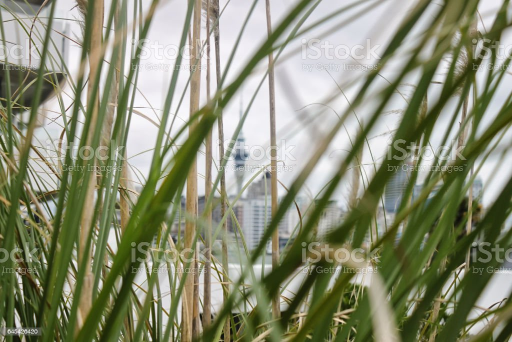 Auckland, view on Sky Tower from behind the grass stock photo