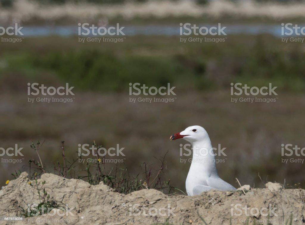 Audouin Gull stock photo