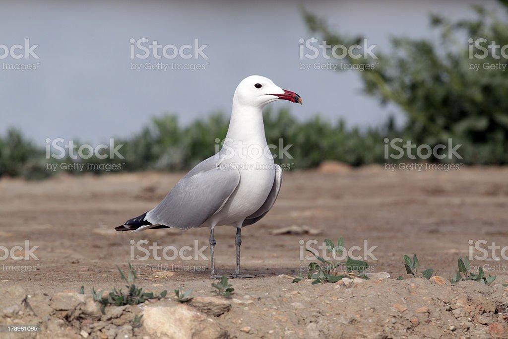 Audouin's gull, Larus audouinii royalty-free stock photo