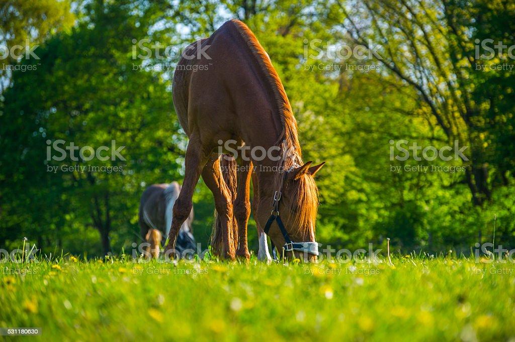 Auf der Wiese am grasen stock photo
