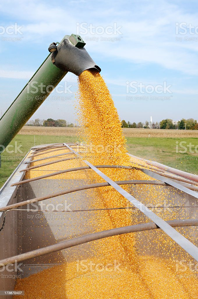 Auger flowing Corn into Truck stock photo