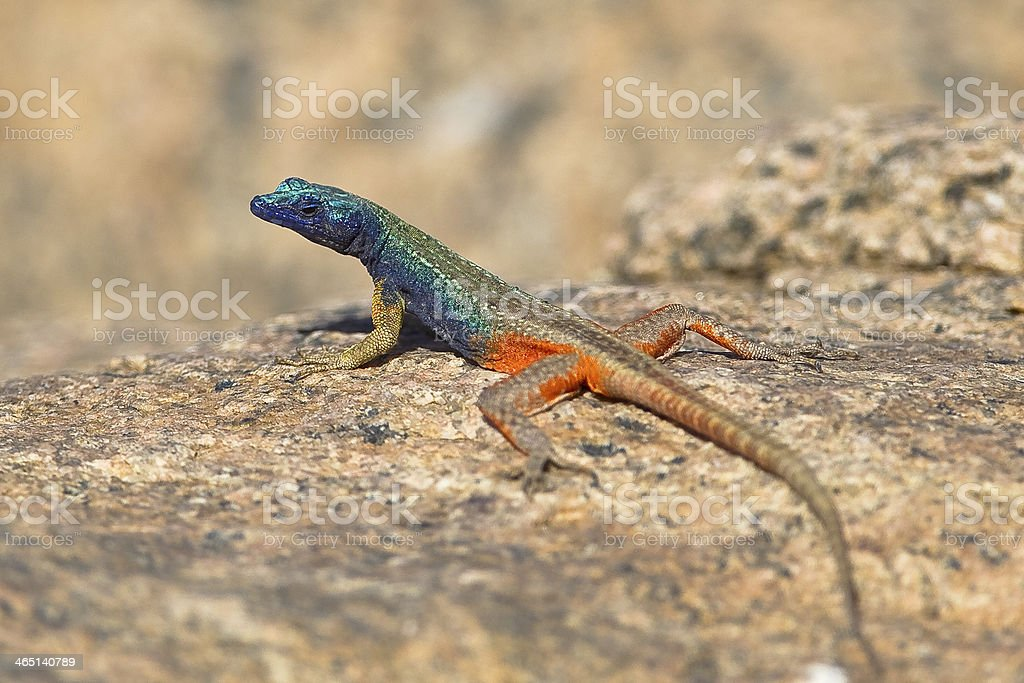 Augrabies Flat Lizard royalty-free stock photo
