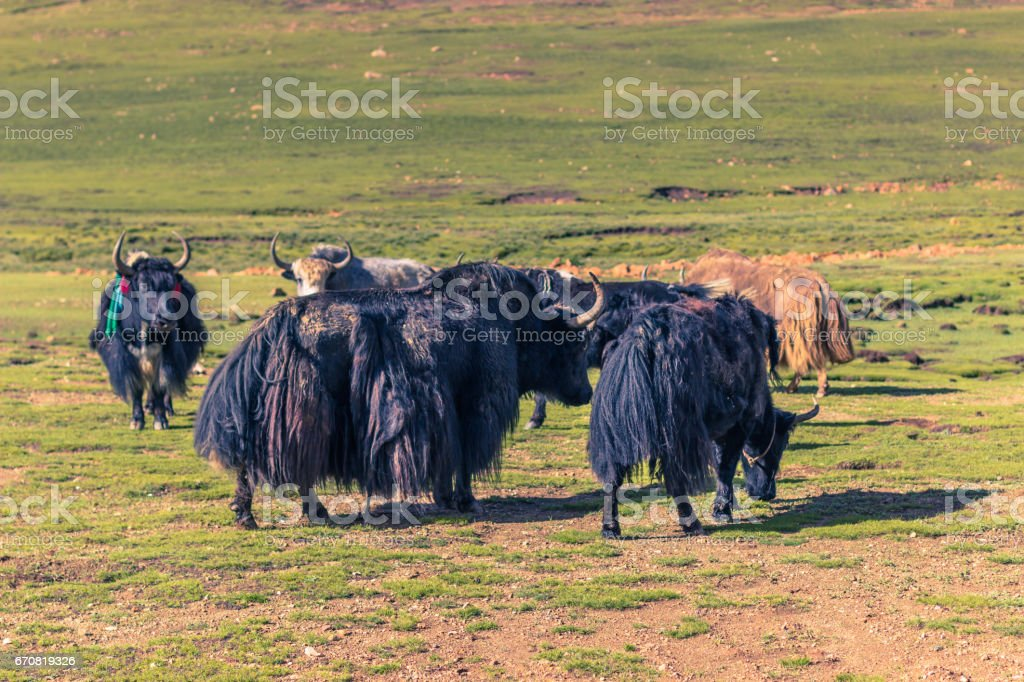 August 16, 2014 - Yaks in the countryside of Tibet stock photo