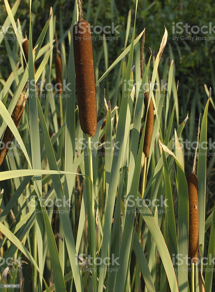 August cat tails stock photo