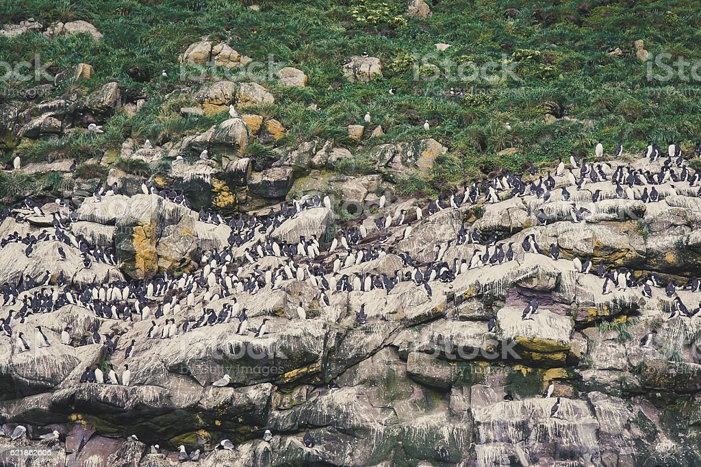 Auk birds lined up on cliff stock photo