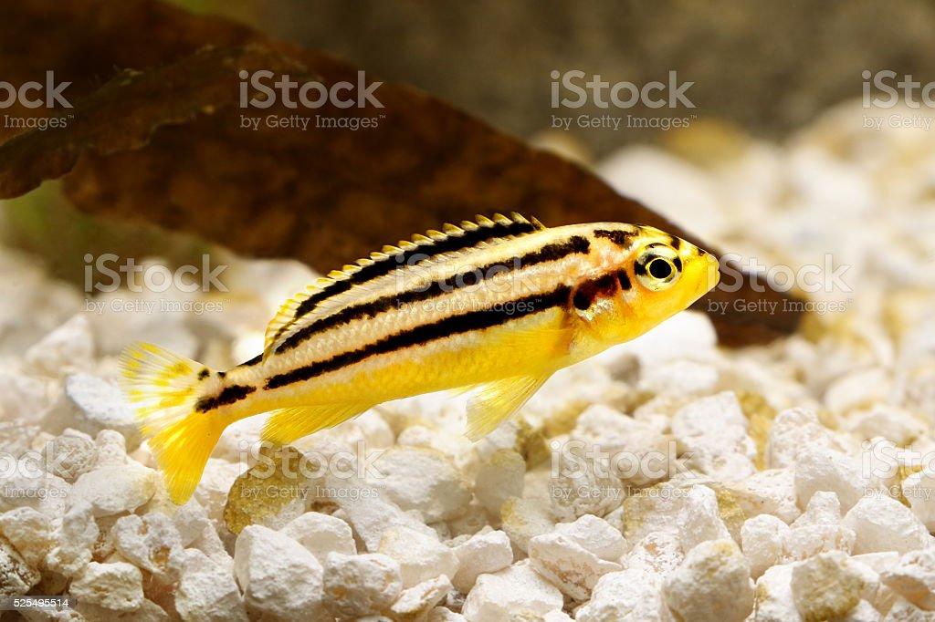 Auratus cichlid Melanochromis auratus golden mbuna aquarium fish stock photo