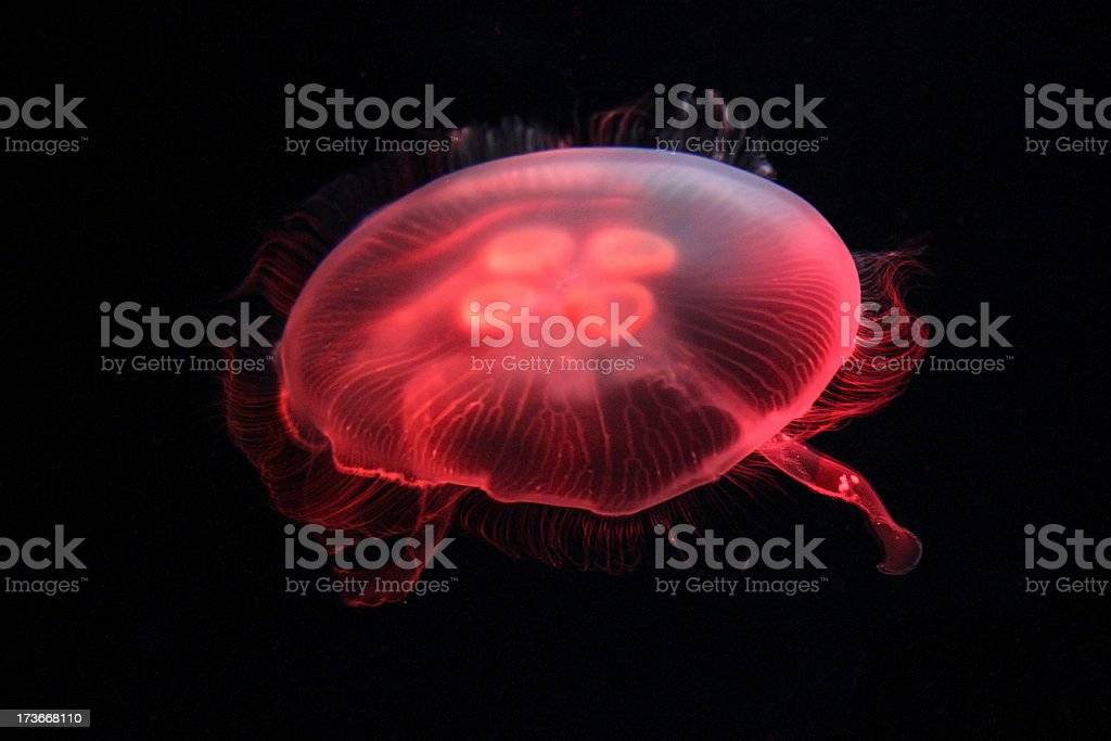 Aurelia aurita Jellyfish royalty-free stock photo