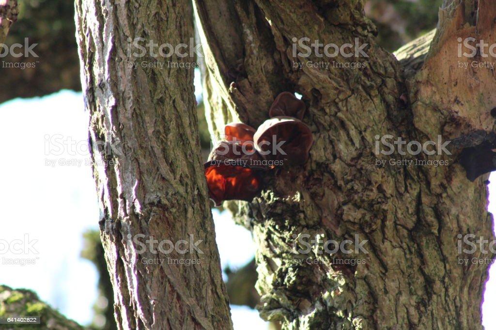 Auricularia auricula-judae - Jews ear fungus on fallen tree stock photo
