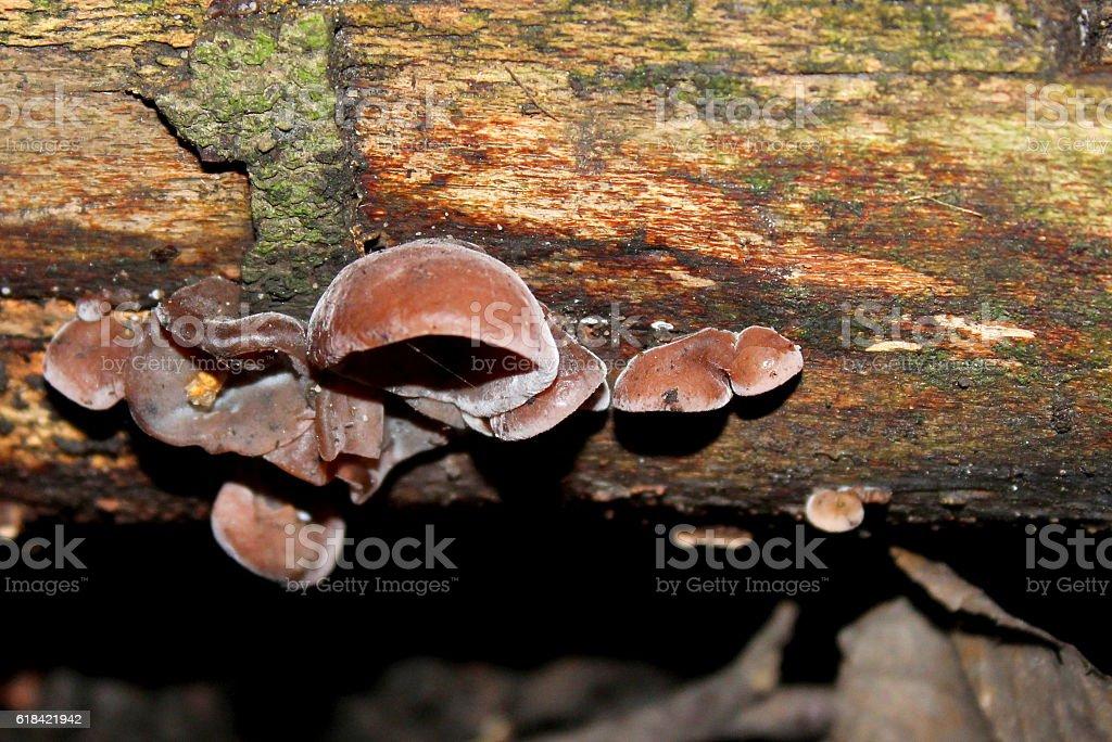 Auricularia auricula-judae - Jews ear fungus on tree with moss stock photo