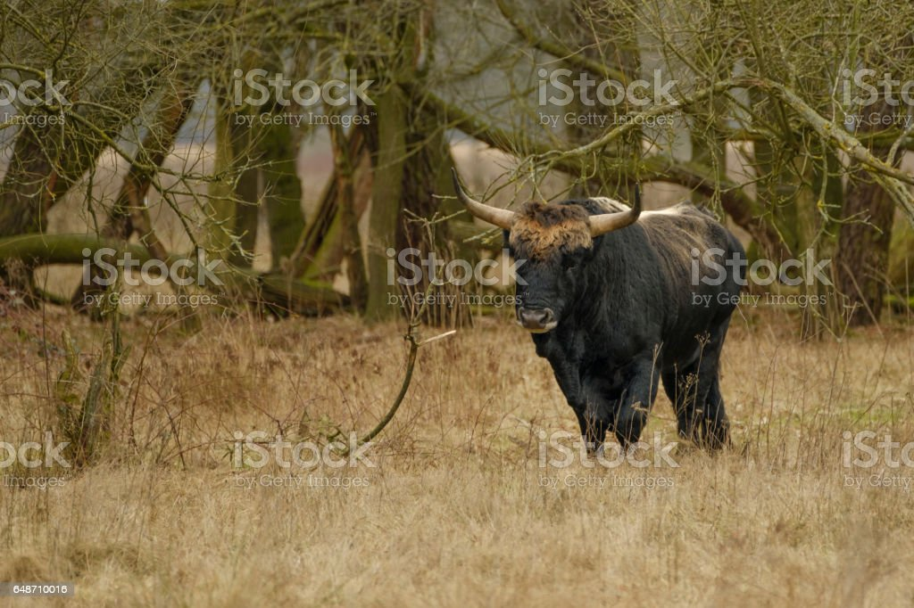 Aurochs animal Bos primigenius stock photo
