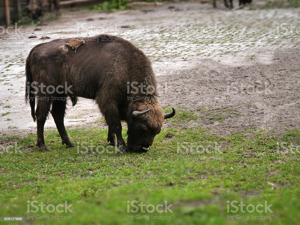 aurochs on green grass stock photo