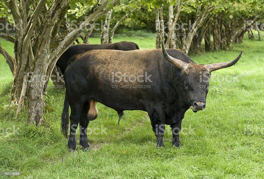 aurochs stock photo