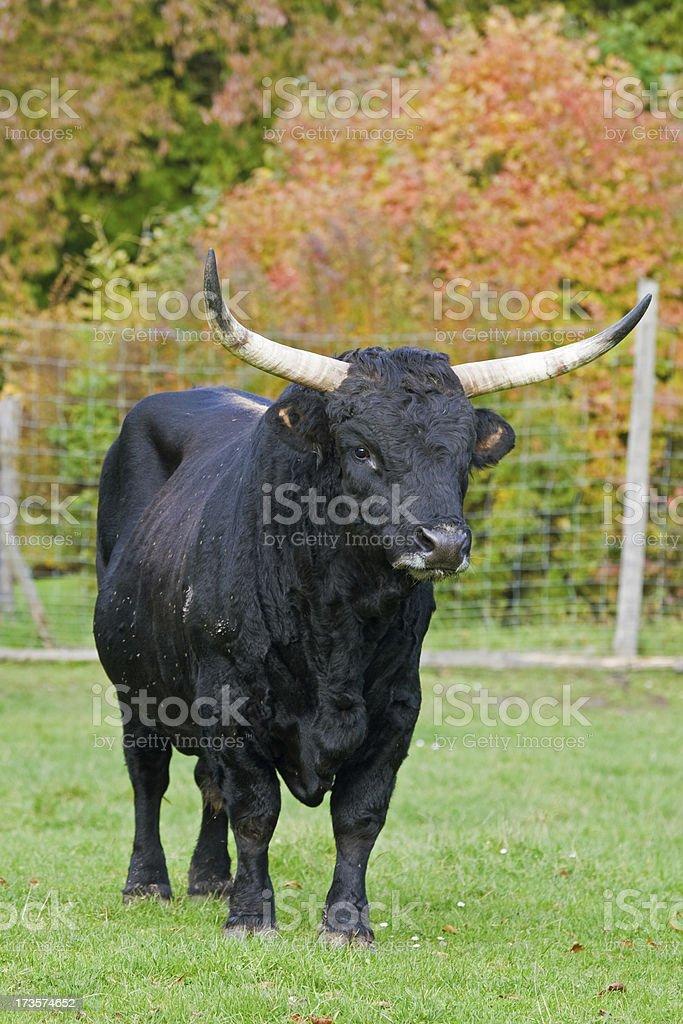 Aurochs (Bos Primigenius) stock photo