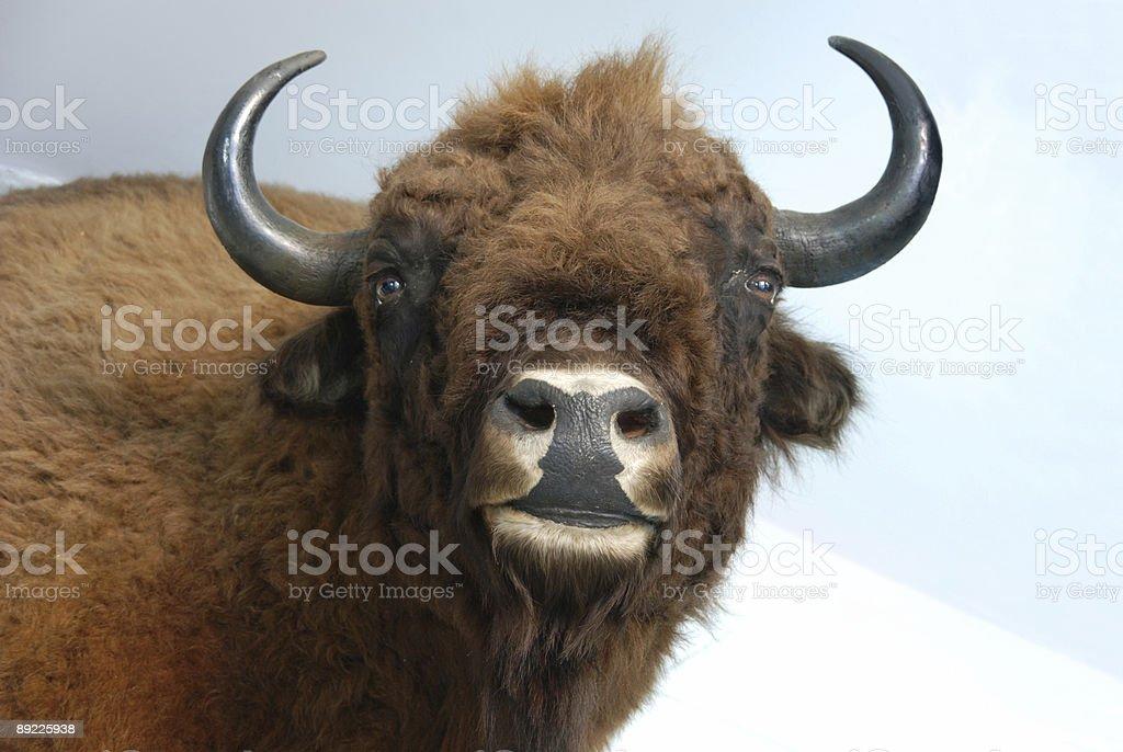 Aurochs (Bison bonansus) stock photo
