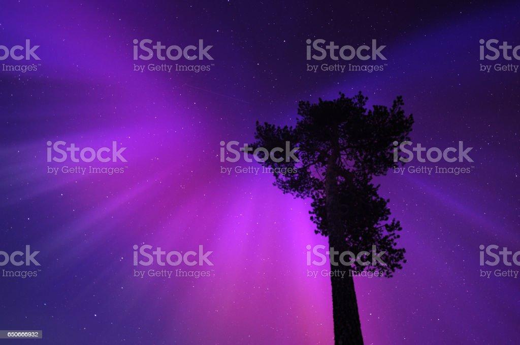 Aurora borealis corona above old pine tree stock photo