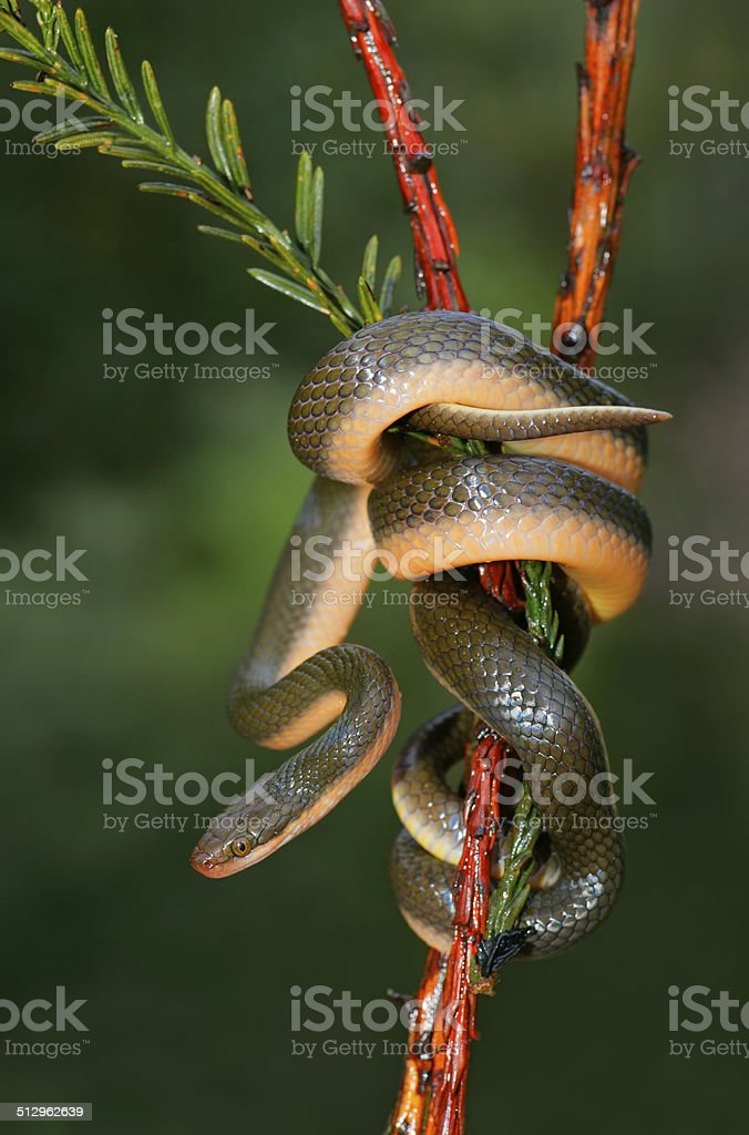 Aurora house snake stock photo