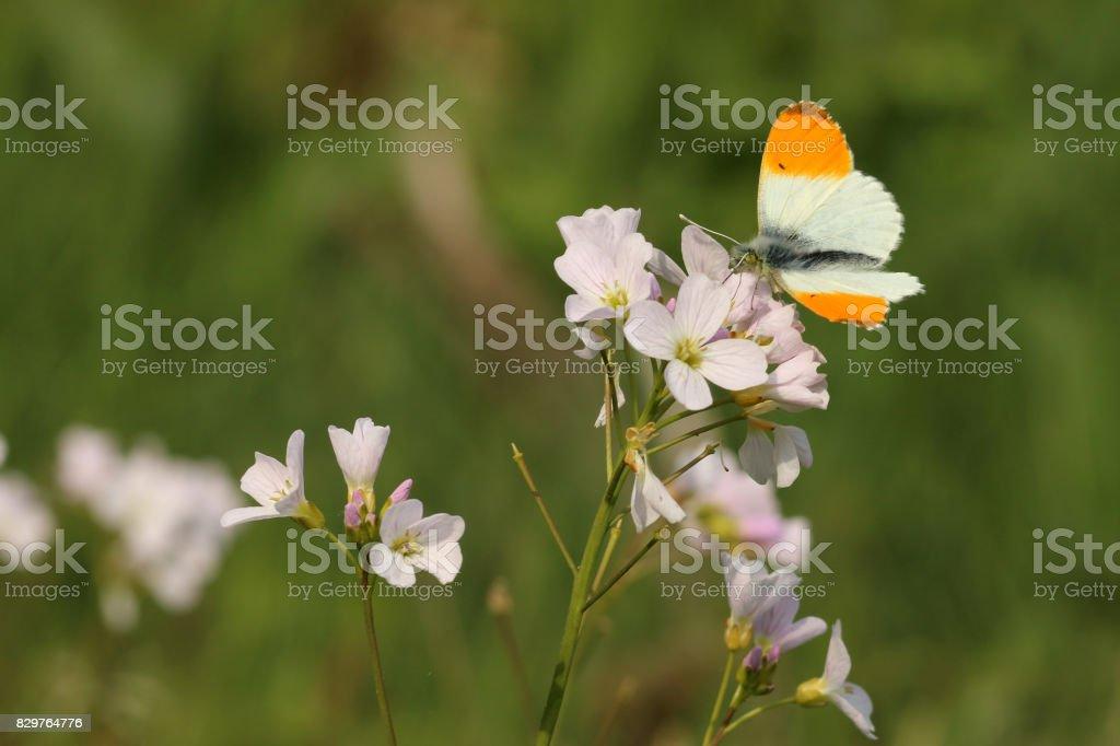 Aurorafalter stock photo