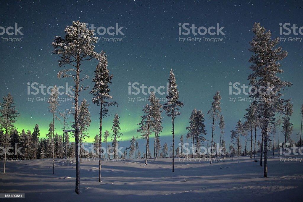 Aururora over frozen pine trees. stock photo