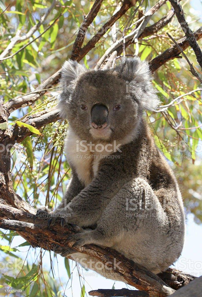 Aussie Koala royalty-free stock photo