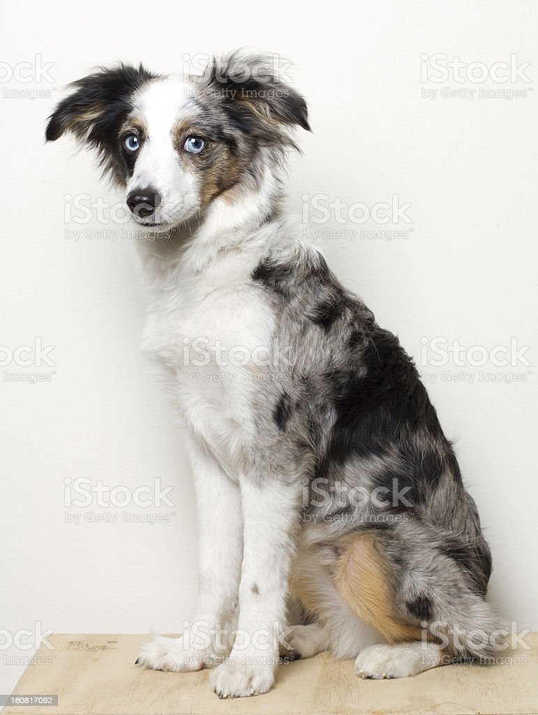 Aussie Shepherd royalty-free stock photo