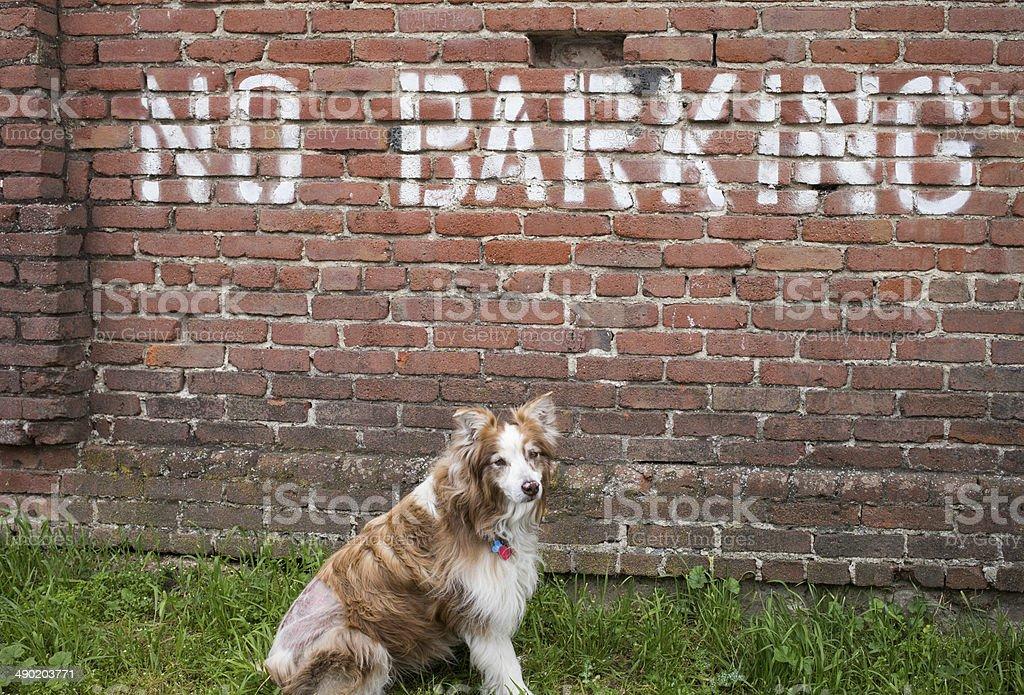 Austrailian Shepard by a no barking sign stock photo