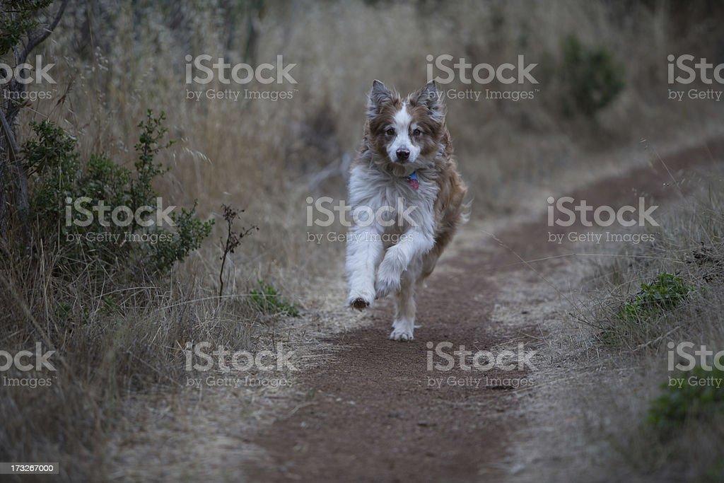Austrailian Shepard running on a hiking trail royalty-free stock photo