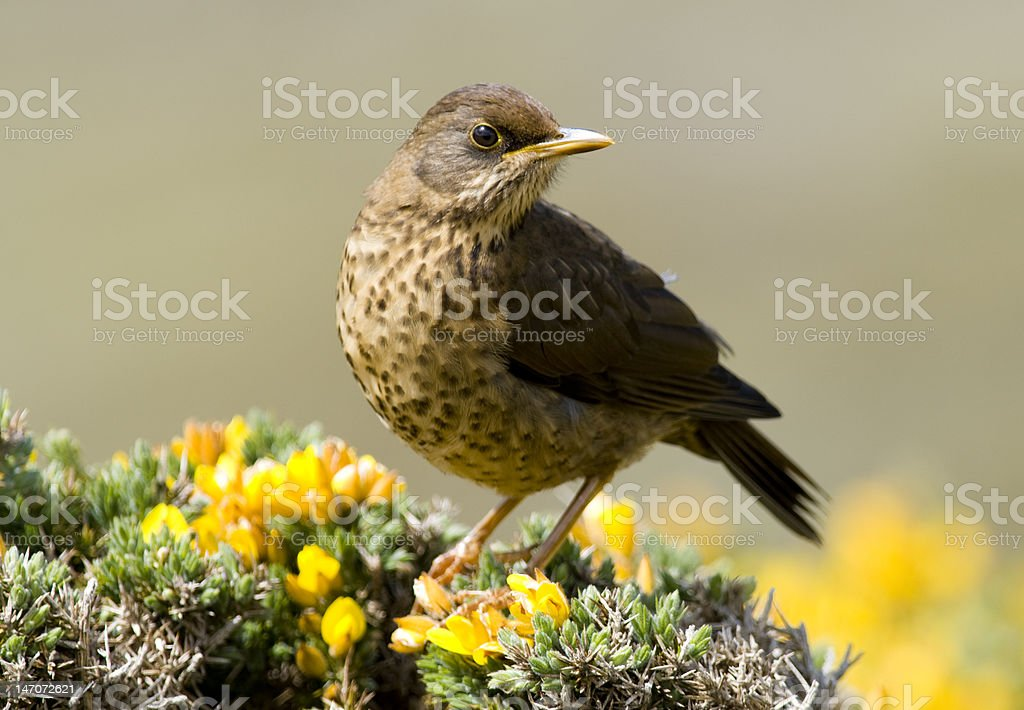 Austral Thrush - Falklands stock photo