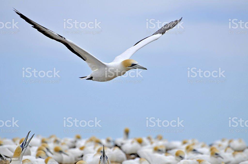 Australasian Gannet stock photo
