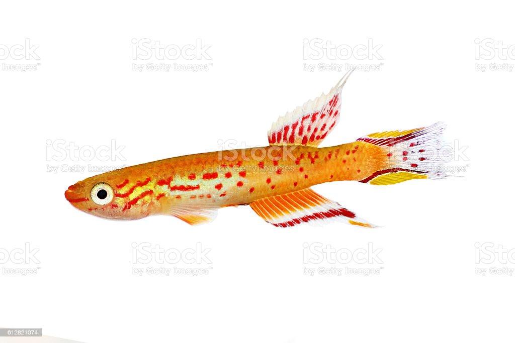 australe kap lopez killifish Aphyosemion austral Aquarium fish stock photo