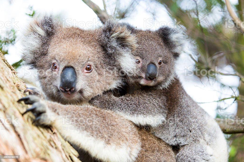 Australia Baby Koala Bear and mom sitting on a  tree stock photo