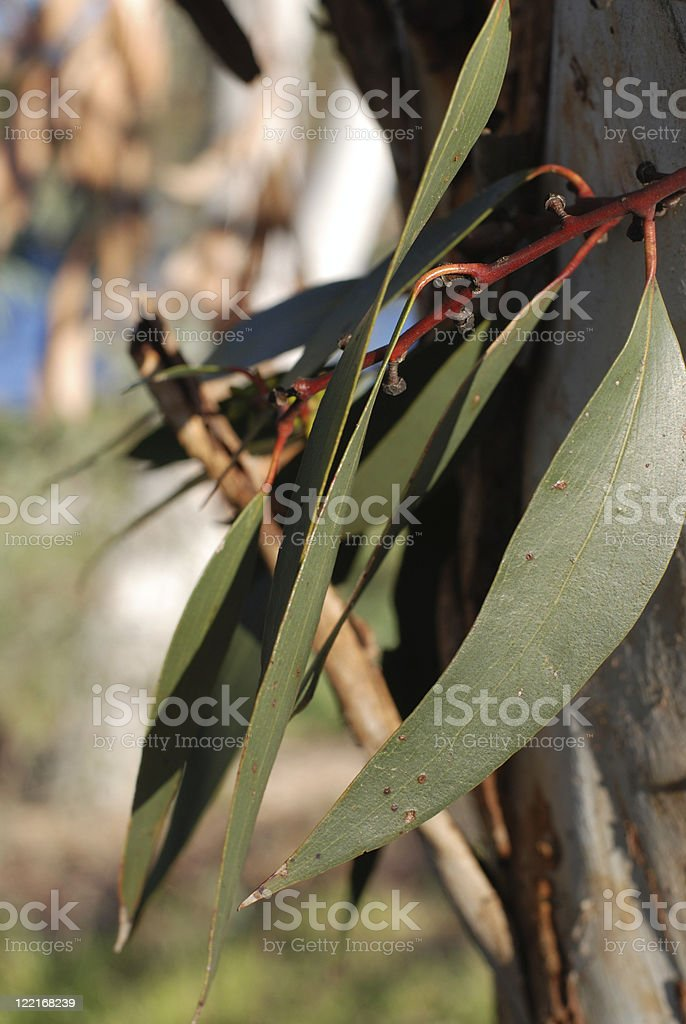 Australia: Eucalyptus Leaves in the outback royalty-free stock photo