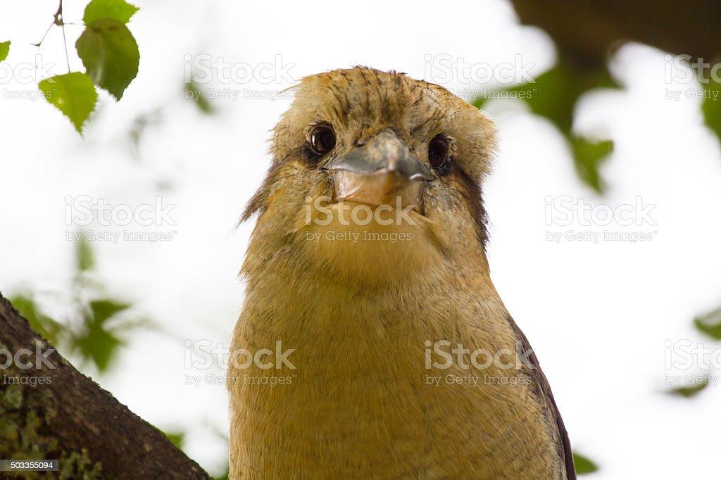 Australia Kookaburra stock photo
