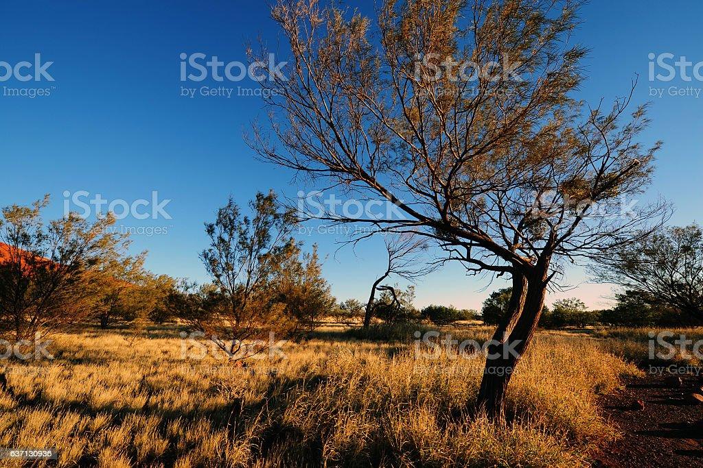 Australia Landscape : Native plants and trees in Australia Outback stock photo