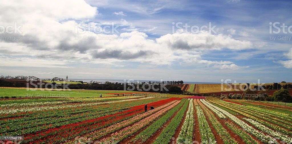 Australia Tasmania - Wynyard: Tulip Garden royalty-free stock photo